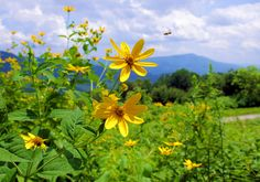 Wildflowers along the #BlueRidgeParkway near Asheville NC