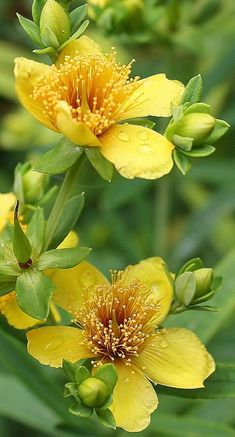 St Johns-wort - Beautiful colors, amazing green and yellow combination