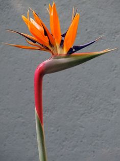 Bird Of Paradise. Which happen to be everywhere in SoCal!