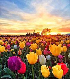 Wooden Shoe Tulip Festival - Washinngton: