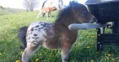 15+ Mini Horses You Don't Want Your Kids To See | Bored Panda. @cmasters719 Don't let the girls see this!  Lol