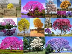 Ipê de todas as cores - Brasilia - Brasil