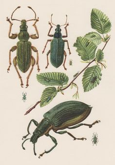 1957 Weevil Beetle Antique print, Insects Offset Lithograph, Coleoptera Entomology, Curculionidae, Phyllobius arborator, Polydrusus formosus on Etsy, $19.93