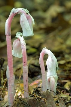 Indian Pipe/ghost flower