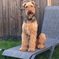 Like a Boss! Terrier Breeds, Airedale Terrier, Terrier Dogs, Terriers, Best Puppies, Best Dogs, Dogs And Puppies, Wire Haired Terrier, Wire Fox Terrier