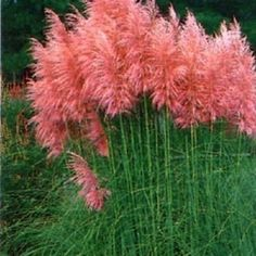 Pink Pampas Grass Seeds,Cortaderia Selloana is also called 'Feather Pink' Ornamental Grass Seed Pere Garden Seeds, Garden Plants, Patio Plants, Outdoor Plants, Image Nature, Seed Germination, Grass Seed, Ravenna, Ornamental Grasses
