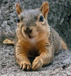 A cute squirrel Hamsters, Rodents, Animals And Pets, Baby Animals, Funny Animals, Cute Animals, Cute Squirrel, Baby Squirrel, Squirrels