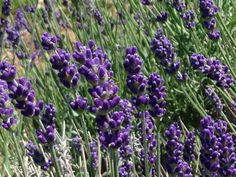 Beautiful hidcote lavender #serenitylavender @lavender_lady1