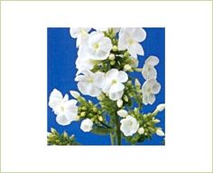 Icecap - Phlox - Flowers and Fillers - Flowers by category | Sierra Flower Finder