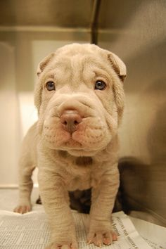best pictures and photos ideas about adorable chinese shar pei puppies - oldest dog breeds Shar Pei Puppies, Cute Puppies, Cute Dogs, Dogs And Puppies, Chinese Dog, Chinese Sharpei, Baby Animals, Cute Animals, Funny Animals