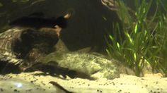 Catfish at london zoo