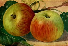 Laxton's Superb is a variety of apple that was developed in England in 1897. The variety is a cross breed between Wyken Pippin × Cox's Orange Pippin.