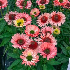 The SunSeekers Coneflower series offers varieties in several incredible, nonfading colors. Salmon's semi-double flowers emerge as a lovely . Cottage Garden Design, Cottage Garden Plants, Cottage Gardens, Plant Order, Pink Petals, Garden Borders, Backyard Birds, Container Flowers, Summer Garden