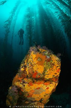Scuba diving in the kelp forests in Monterey, California