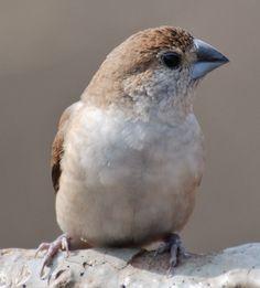 African silver bill finch