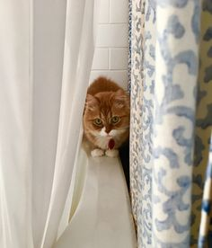 Winston likes to hide between the shower curtains - http://cutecatshq.com/cats/winston-likes-to-hide-between-the-shower-curtains-2/