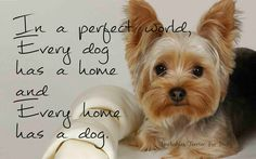 """Awesome """"Yorkshire Terriers"""" info is readily available on our website. Read more and you wont be sorry you did. Yorkies, Yorkie Puppy, I Love Dogs, Puppy Love, Cute Puppies, Cute Dogs, American Bulldog Puppies, Silky Terrier, Yorkshire Terrier Puppies"""