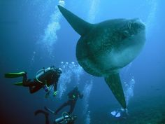 Google Image Result for http://www.nano-indonesia.org/wp-content/uploads/2010/09/Mola-mola7.jpg