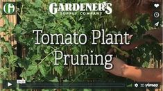 Troubleshooting Tomato Problems, Tomato Pests | Gardener's Supply Tomato Plant Diseases, Pruning Tomato Plants, Growing Tomatoes From Seed, Types Of Tomatoes, Grow Tomatoes, Backyard Vegetable Gardens, Tomato Garden, Large Plants, Cool Plants