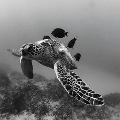 Sea Turtle getting the undivided attention of the cleaning crew