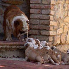 Bulldog and puppies. Imágenes de Perros
