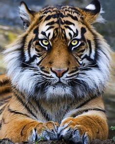 Sumatran Tiger | Photo by Stuart Robertson Reynolds