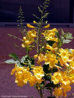 Hummingbirds flock to the trumpet-like clusters of petals of Arizona Yellow Bells. Fast growing from Spring to Fall, Yellow Bells are low-water-use plants that thrive in the Arizona sun. wateruseitwisely.com