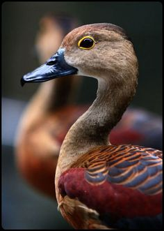 he Lesser Whistling Duck (Dendrocygna javanica), also known as Indian Whistling Duck or Lesser Whistling Teal, is a species of whistling duck that breeds in the Indian Subcontinent and Southeast Asia./by Milovanova Tatyana
