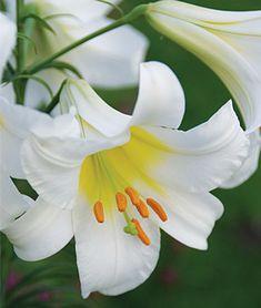 Designs For Garden Flower Beds Lilium Regale 'Collection' Garden Bulbs, Shade Garden, Lily Garden, Flowers Garden, Indoor Flowers, Planting Bulbs, Best Perennials, Flowers Perennials, Trumpet Lily