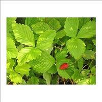 Select Seeds - Search Results for strawberry