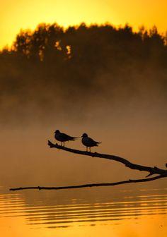 -: Summer Shine :-  Gulls at sunrise
