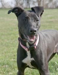 Jasper   Adopted Dog   Brooklyn, NY   Whippet/Shepherd (Unknown ...