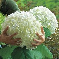 hydrangea cottage   .. X ღɱɧღ    Hydrangea arb. Incrediball® Strong Annabelle®