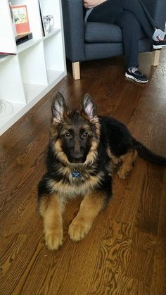 Boston. Born in Poland. Delivered by Jayne at Rocky Mountain German Shepherds