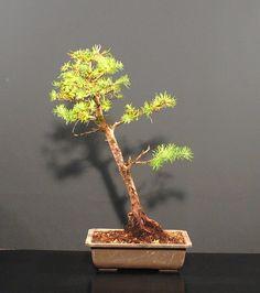 *rs Bonsai Larix kaempfei jap.Lärche Wald L1