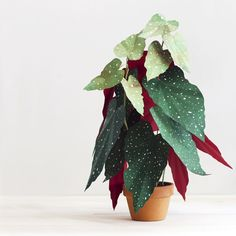 Using white paint and careful folding, Corrie Beth Hogg creates lifelike paper plants including Begonias and African Masks. Real Plants, Potted Plants, Indoor Plants, Live Plants, Chinese Money Plant, Fiddle Leaf Fig Tree, Paper Plants, Deco Nature, Decoration Plante