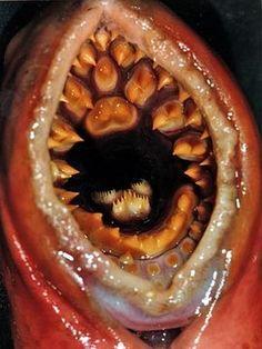 Sea lamprey, Petromyzon marinus, via Ecomare (cc-by-nc)