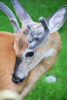 "A young buck in ""velvet""."