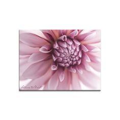 Dahlien vorziehen bringt frühe Blüten und schützt vor Schnecken.