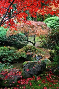 Autumn garden with Japanese maples, rocks and evergreens.  Moist fallen leaves.