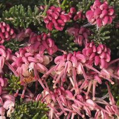 Grevillea lanigera Pink red and cream flowers from autumn through to summer. Both frost and drought tolerant once established and is bird attracting. Prefers a full sun position. Supplied in a pot. Online Nursery, Garden Express, Small Shrubs, How To Attract Birds, Garden Living, Cream Flowers, Boxing Day, Garden Plants, Flowering Plants