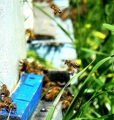 en primer plano las abejas