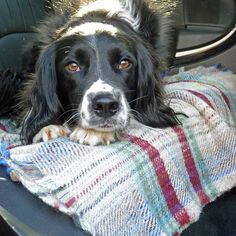 Recycled wool blanket made in Wales with Reily the Spaniel