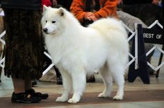 Samoyed at attention in the Ring Samoyed Dogs, Fluffy Coat, Dogs Of The World, Dog Breeds, Cute Animals, Puppies, Ring, Top, Pretty Animals
