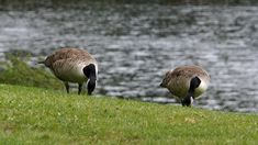 Free Image on Pixabay - Canada Goose, Branta Canadensis Free Pictures, Free Images, Canada Goose