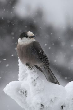 gray jay in winter | lee hansche |Flickr - Photo Sharing!