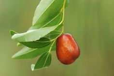 The jujube is about the size of an olive or small date and has the texture and crisp, sprightly flavor of an apple. You can eat the jujube fresh out of han