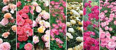 This rose collection was created in response to increased consumer demand for smaller, ever blooming plants, Drift® Roses fit a special niche in the landscape rose market. Floribunda Roses, Shrub Roses, Landscaping With Roses, Landscaping Plants, Houston Garden, Ground Cover Roses, Drift Roses, Flowers For Everyone, Rose Garden Design