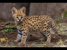 Serval Kitten Gets Licking From Mom - YouTube