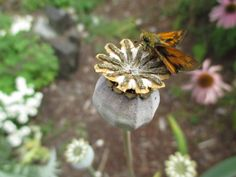 Poppies gone to seed. Dried seed heads are full of tiny black seeds that can be shaken out and saved for planting later. Best Door Designs, Strange Fruit, Backyard Farming, Black Seed, Urban Farming, Planting, Homesteading, Poppies, Seeds